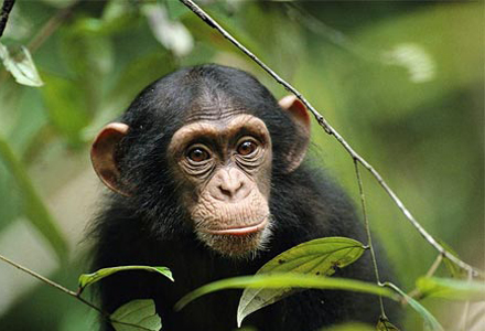 chimp-peeking-through-leaves-1.jpg