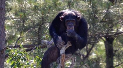 chimpanzes.png