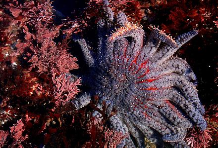 estrela-do-mar-gigante-1.jpg