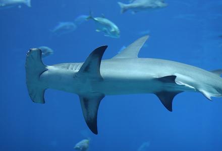 hammerhead-shark-1.jpg