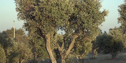 oliveiras.jpg.jpg