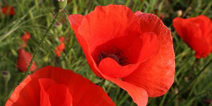 poppies.jpg.jpg