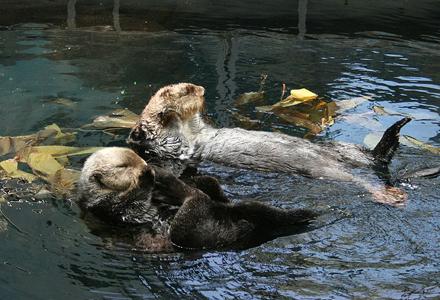 sea-otter-1.jpg