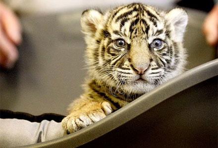 tigre_1-1.jpg