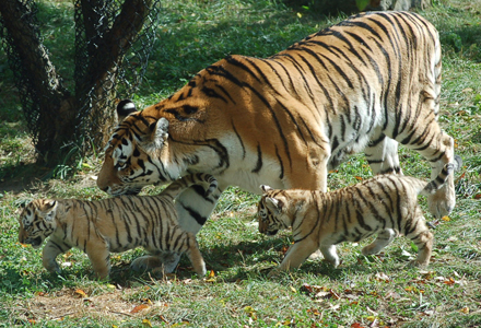 tigres-1.jpg